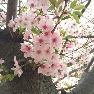 今年の桜は、母と