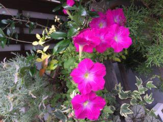 紫陽花と女心